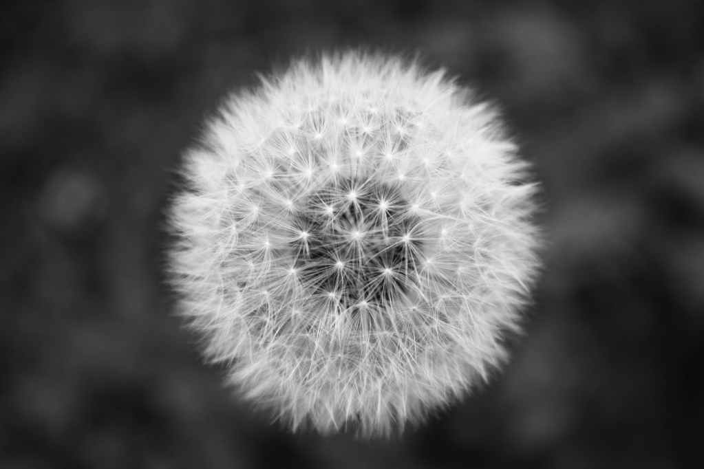 dandelion grayscale photography