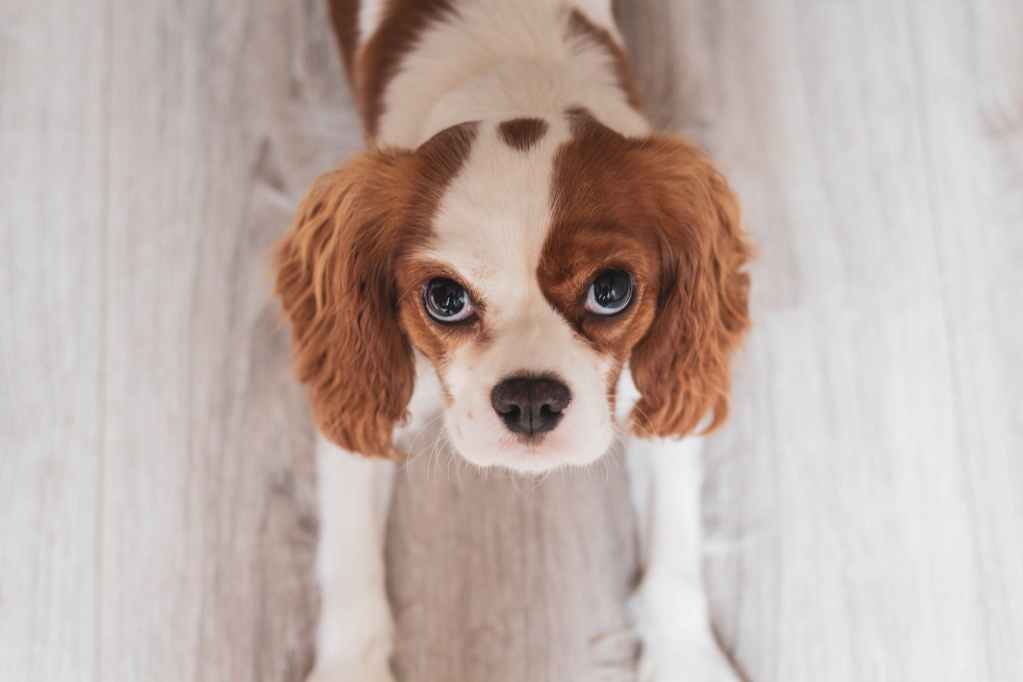 white and red cavalier king charles spaniel puppy close up photo