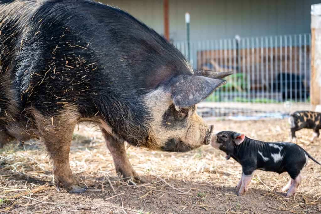 piglet and big pig touching noses