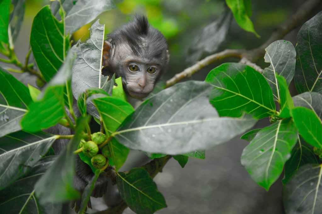 black primate seeking behind green leaf tree