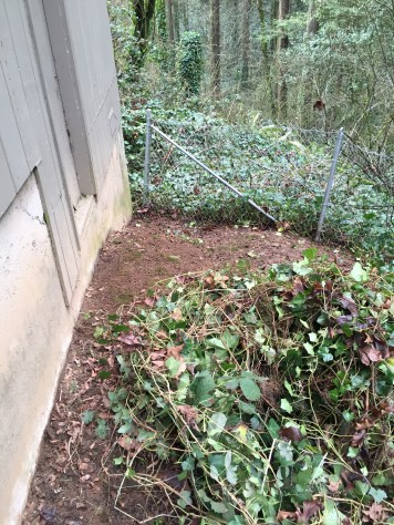 Pulling back Ivy and root systems like a carpet