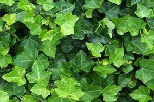 english-ivy-r