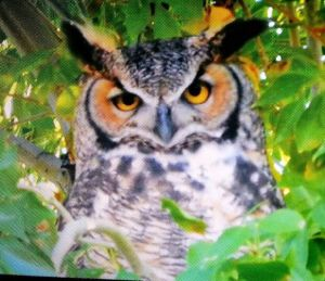 Adult great horned owl - photo by Jerry Purcella