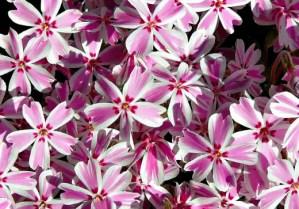 Phlox 'Pink & White'