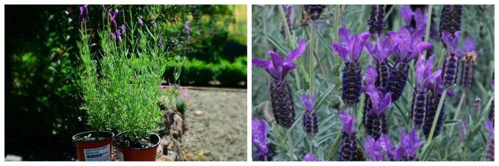 Lavender 'avonview'