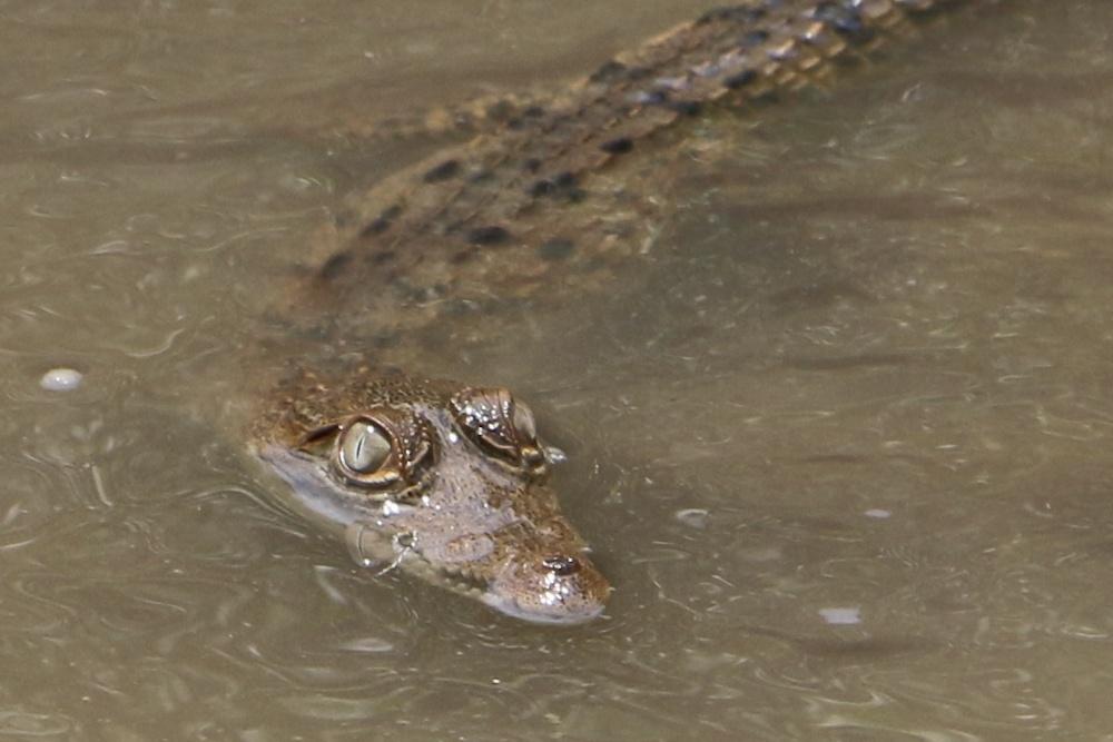 Krokodil im Palo Verde Nationalpark