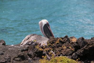 Galapagos-Pelikan