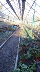 Green house 2, with our veg for the autumn, chard, onions and leeks among the few