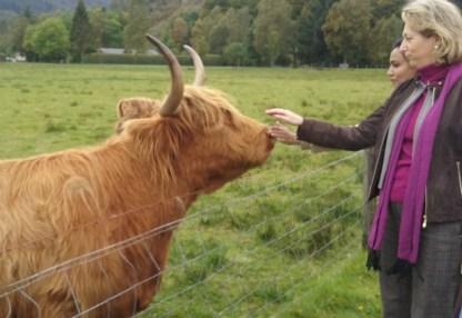 Las famosas vacas de las Highlands