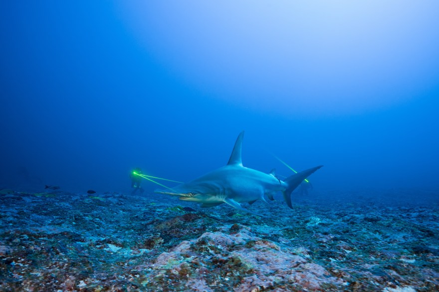 Mokarran Society Project great hammerhead shark
