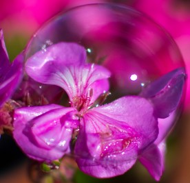 geranium bulle