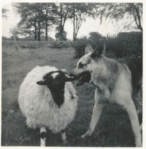 1969 Prince and pet sheep at Calderside. Shared by J Cochrane