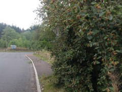 2014 Beech nuts at Stomeymeadow Road Junction, Blantyre by PVeverka