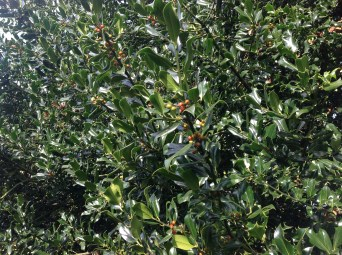 2012 Holly Trees at Croftfoot, High Blantyre (PV)