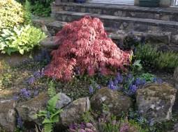 2013 Acer in back garden Croftfoot (PV)