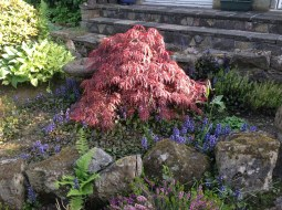 2013 Acer in back garden Croftfoot (PV)