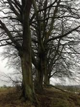 2015 Calderside Trees at the junction of Calderside Rd (PV) in January
