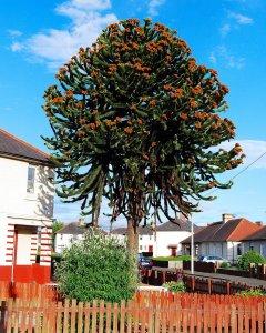 2010 Monkey Puzzle Tree, Blantyre