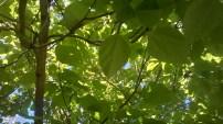2015 Catalpa Tree Canopy at Croftfoot (PV)