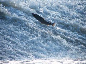 Salmon at the Clyde. Shared by Gerry Chambers Oct 15