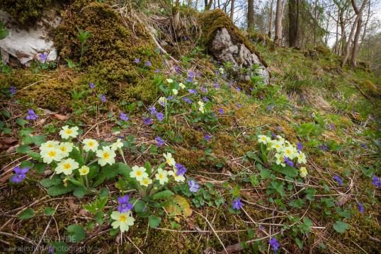 Primroses {Primula vulgaris}