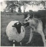 1960s Pet sheep and Prince, Auchentibber
