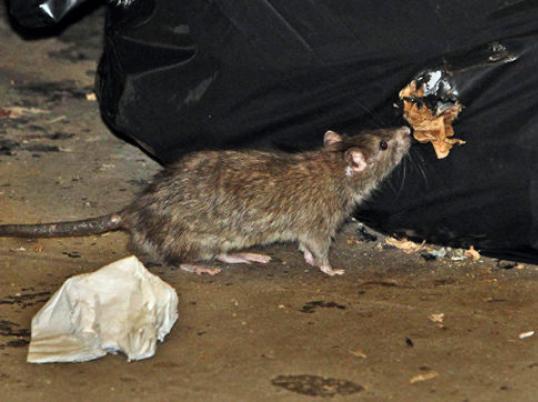 alg-rat-eating-jpg