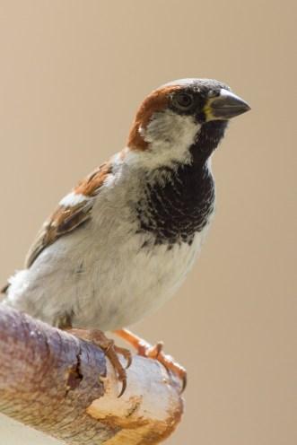 Feldsperling Sperling Vogel Vögel