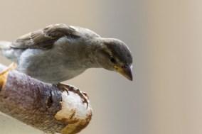 Haussperling Sperling Vogel Vögel