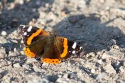 Admiral Schmetterling Natur Tiere