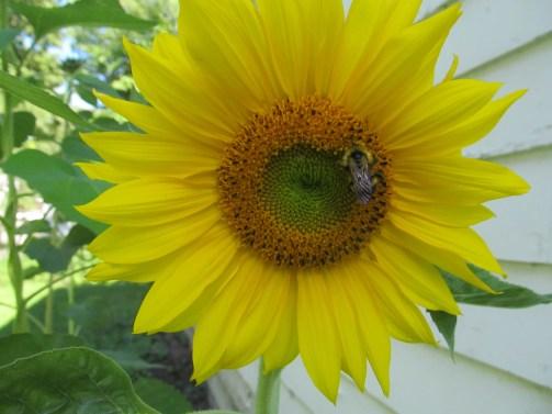 yellow sunflower visitor