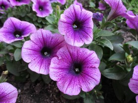 Estes Park purple flowers