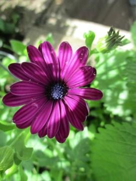 purple sun stripe flower