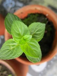 mini mint pot