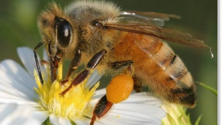 Disappearing honey bee population could spell trouble for some crops