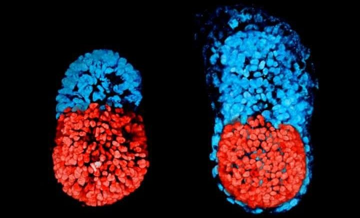 Scientists Attempt to Produce 'Human life' after embryo breakthrough…