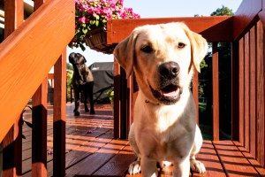 Yellow Lab and Bullmastiff on the porch