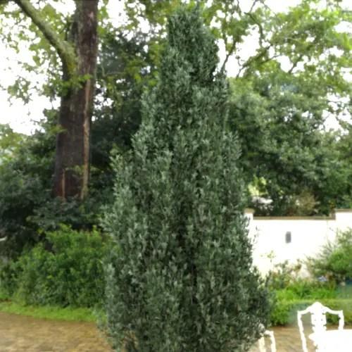 Conifer in HDRI - vegetation Addon