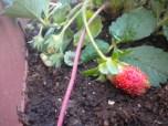 22-04-2012 Οι πρώτες φράουλες
