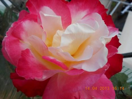 Τα Τριαντάφυλλα είναι ότι καλύτερο για να χρωματίσετε το μπαλκόνι / κήπο σας, Πέραμα 2013 Credit: Camille Delcour