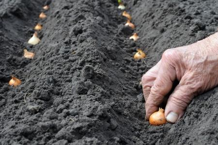 How to grow onions 19