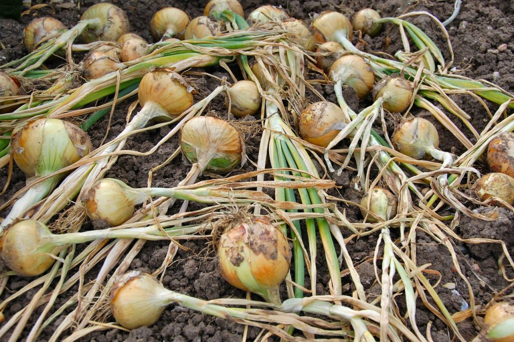 How to grow onions 14