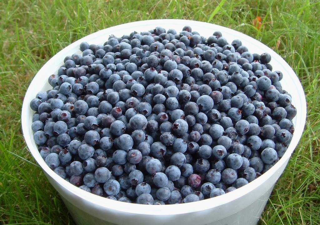 bucket-o-blueberries