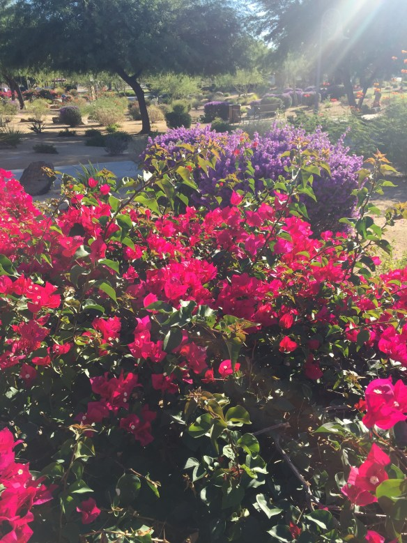 Bougainvillea in Palm Springs