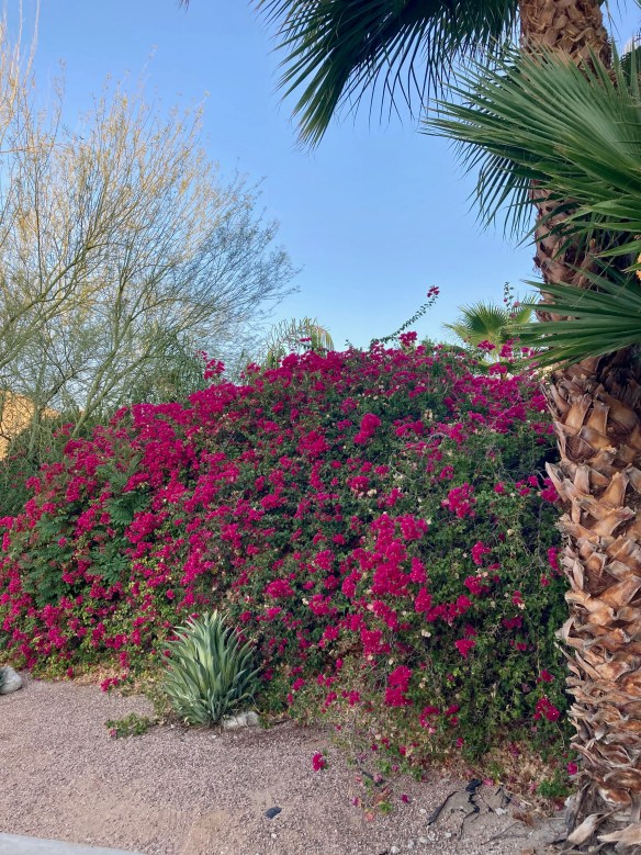 bougainvillea wall of red flowers