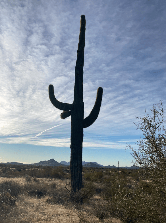 Saguaro profile in desert