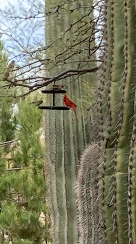 red cardinal on bird feeder