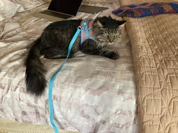cat in harness and leash