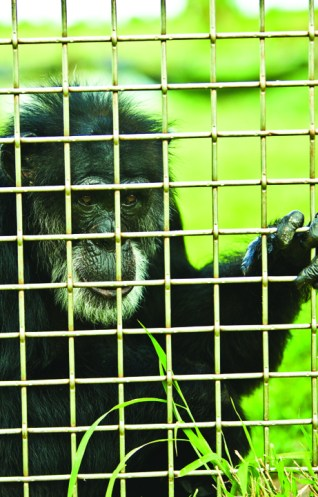 Photo by Jeramy Pritchett / Save the Chimps