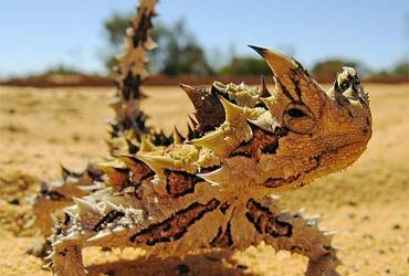 Thorny Devil: The 'Grooves' of Motherhood
